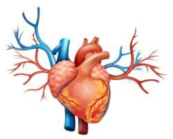 Левожелудочковая сердечная недостаточность является опасным заболеванием
