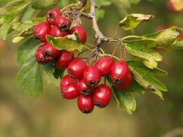 Лечим сердечную недостаточность отваром из плодов боярышника