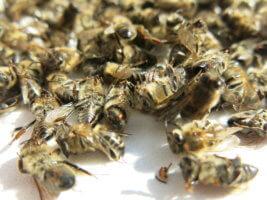 что такое подмор пчел