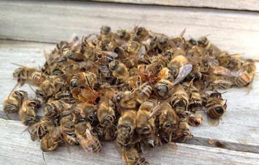 Пчелиный подмор для сердца и сосудов: применение и лучшие рецепты