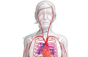 Общая сонная артерия по своему ходу делится на внутреннюю и наружную