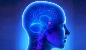 Гипофиз – это железа внутренней секреции, которая расположена у основания головного мозга