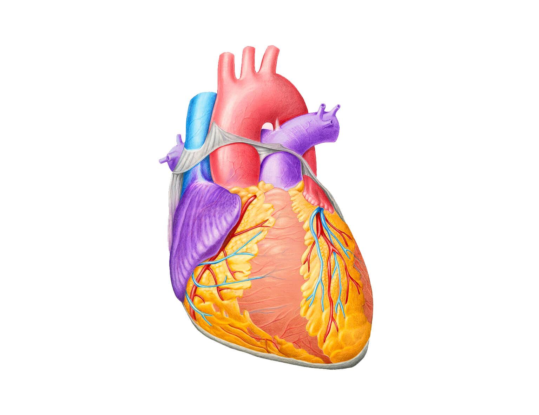 Как увеличить объем сердца: полезные советы и комплекс упражнений